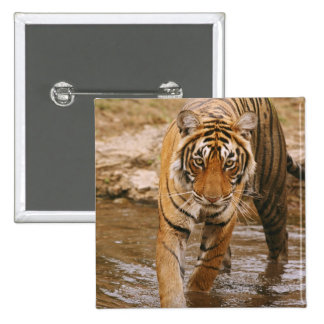Royal Bengal Tiger coming out of jungle pond, Button