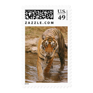 Royal Bengal Tiger coming out of jungle pond, Stamp