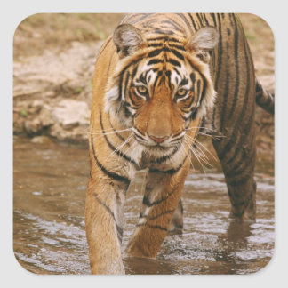 Royal Bengal Tiger coming out of jungle pond Square Stickers