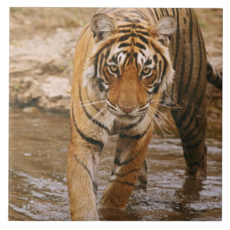 Royal Bengal Tiger coming out of jungle pond, Tile