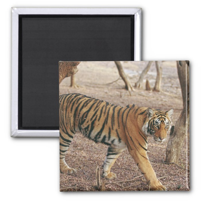 Royal Bengal Tiger coming out of woodland, 2 Inch Square Magnet