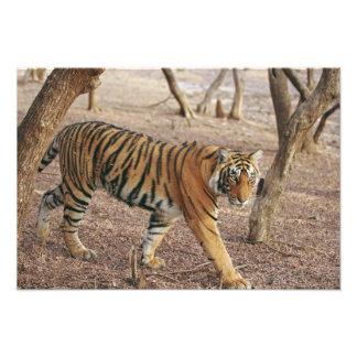 Royal Bengal Tiger coming out of woodland, Photo Print