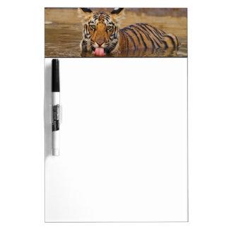 Royal Bengal Tiger cub, drinking water Dry-Erase Boards