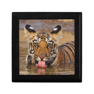 Royal Bengal Tiger cub, drinking water Gift Box