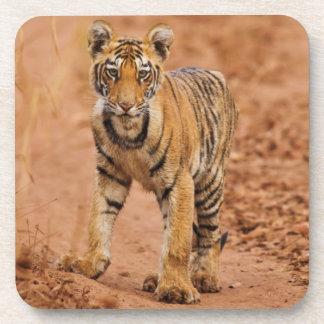 Royal Bengal Tiger cub on the move Coaster