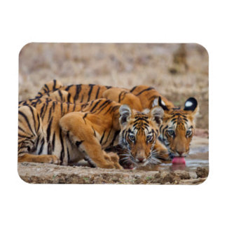 Royal Bengal Tiger cubs at the waterhole Magnet