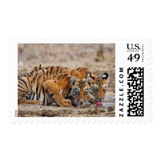 Royal Bengal Tiger cubs at the waterhole Postage