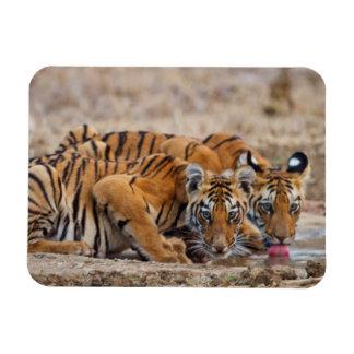 Royal Bengal Tiger cubs at the waterhole Rectangular Magnet