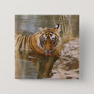 Royal Bengal Tiger drinking in the forest Button