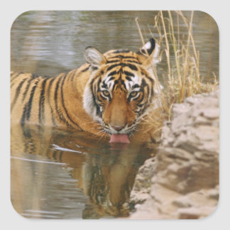 Royal Bengal Tiger drinking in the forest Square Stickers