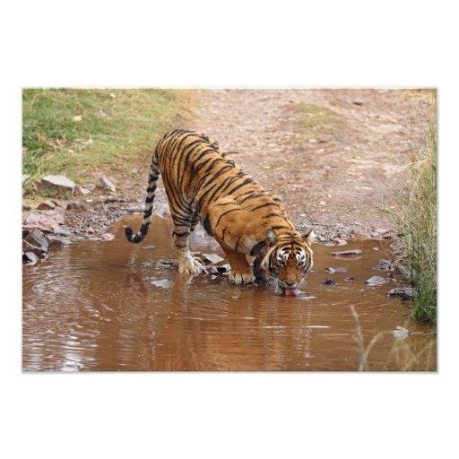 Royal Bengal Tiger drinking water at the Photograph