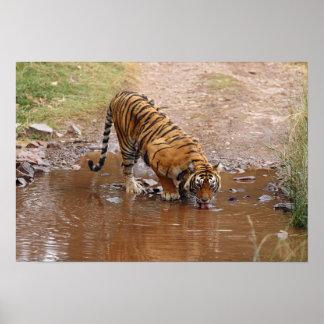 Royal Bengal Tiger drinking water at the Poster
