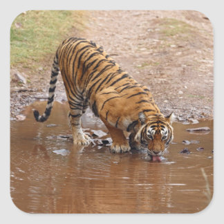 Royal Bengal Tiger drinking water at the Square Sticker