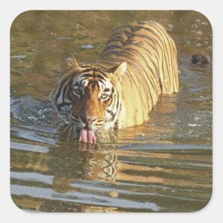 Royal Bengal Tiger drinking water Ranthambhor Square Sticker