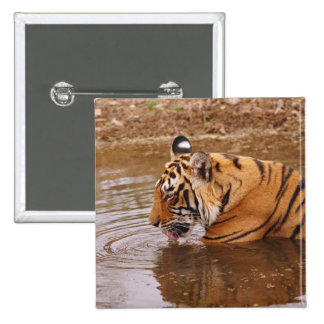 Royal Bengal Tiger drnking water in the jungle Pinback Button