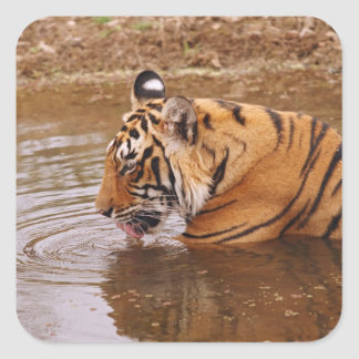 Royal Bengal Tiger drnking water in the jungle Square Sticker