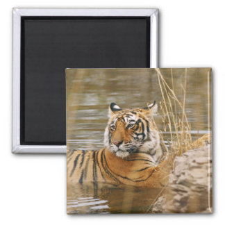Royal Bengal Tiger in the forest pond, 2 Inch Square Magnet