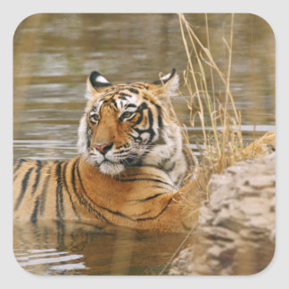 Royal Bengal Tiger in the forest pond Square Stickers