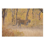 Royal Bengal Tiger in the forest, Ranthambhor Art Photo