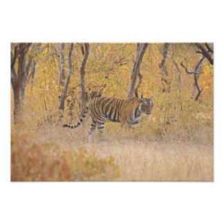 Royal Bengal Tiger in the forest, Ranthambhor Photographic Print