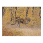Royal Bengal Tiger in the forest, Ranthambhor Post Cards