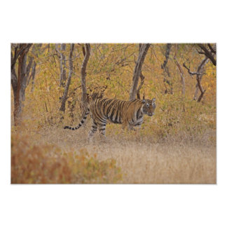 Royal Bengal Tiger in the forest, Ranthambhor Poster