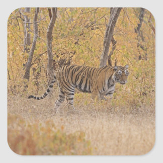 Royal Bengal Tiger in the forest, Ranthambhor Sticker