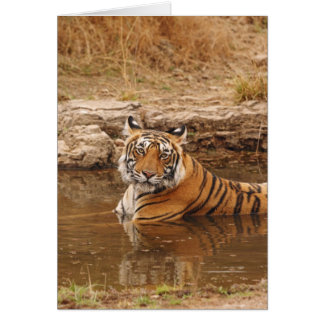 Royal Bengal Tiger in the jungle pond, 2 Card