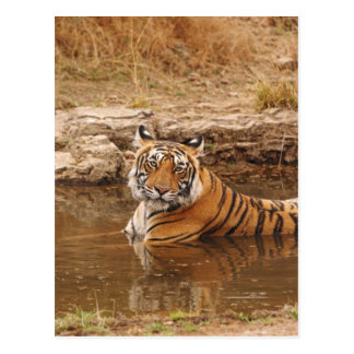 Royal Bengal Tiger in the jungle pond, 2 Postcard