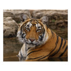 Royal Bengal Tiger in the jungle pond, Poster