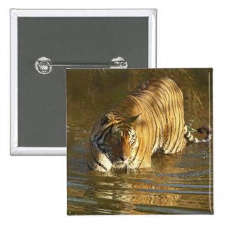 Royal Bengal Tiger in water, Ranthambhor Button