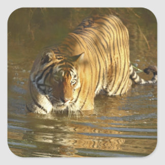 Royal Bengal Tiger in water Ranthambhor Square Stickers