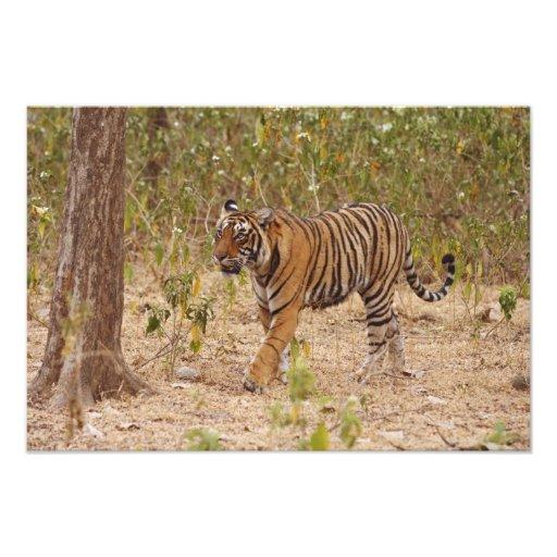 Royal Bengal Tiger moving around the bush, Photo Print