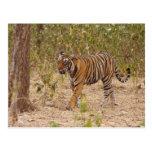 Royal Bengal Tiger moving around the bush, Postcard