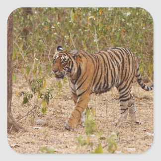 Royal Bengal Tiger moving around the bush Square Sticker