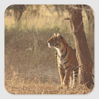 Royal Bengal Tiger on look out for prey Stickers