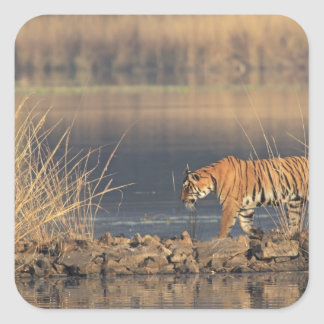 Royal Bengal Tiger on the move Ranthambhor 2 Square Stickers