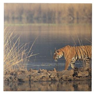 Royal Bengal Tiger on the move, Ranthambhor 2 Tile