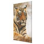 Royal Bengal Tiger on the rock, Ranthambhor Canvas Print