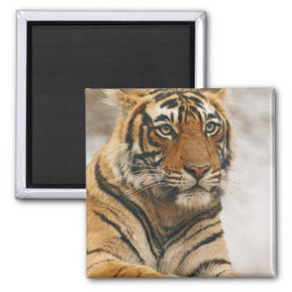 Royal Bengal Tiger on the rock, Ranthambhor Refrigerator Magnet