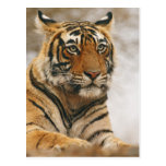 Royal Bengal Tiger on the rock, Ranthambhor Postcard