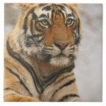 Royal Bengal Tiger on the rock, Ranthambhor Tile