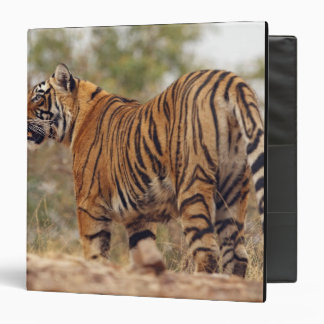 Royal Bengal Tiger on uphill, Ranthambhor Binder