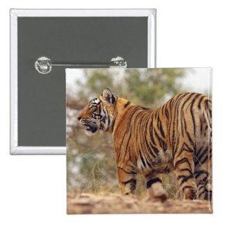Royal Bengal Tiger on uphill, Ranthambhor Pin