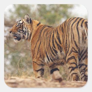 Royal Bengal Tiger on uphill, Ranthambhor Square Sticker
