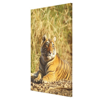 Royal Bengal Tiger outside the grassland, Canvas Print
