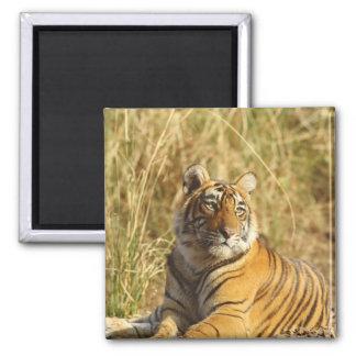 Royal Bengal Tiger outside the grassland, Magnet