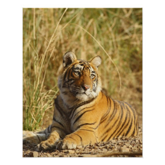Royal Bengal Tiger outside the grassland, Poster