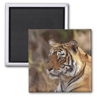 Royal Bengal Tiger, Ranthambhor National Park, 2 Magnet