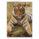 Royal Bengal Tiger, Ranthambhor National Park, Card